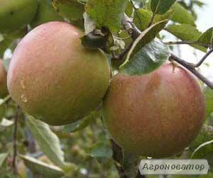 яблука, яблука