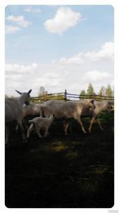 Продам зааненських кіз (чистокровні) німецька біла покращено
