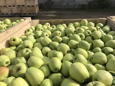 Продаём яблоки оптом с сада от 11грн/кг