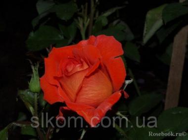 Троянда помаранчева чайно-гібридна Las Vegas (Лас-Вегас)