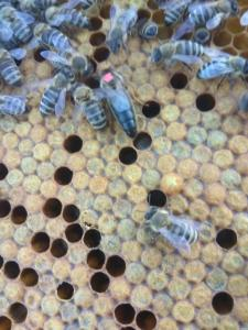 Продам бджоломатки Карпатської популяції у 2021р.