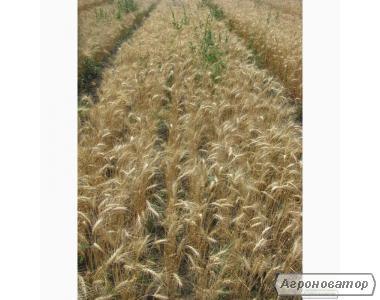 Насіння пшениці озимої - сорт Сонечко. 1 репродукція