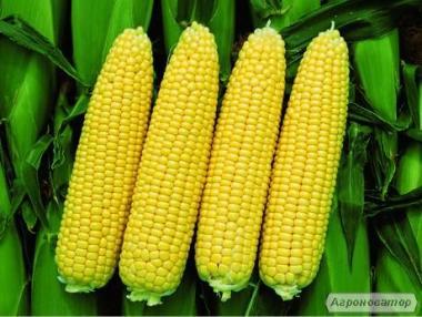 Продам насіння цукрової кукурудзи, оптом і в роздріб