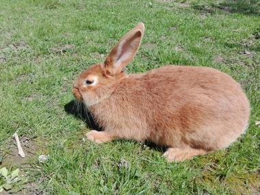Продам кролики бургунці