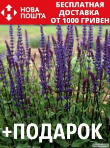 Шалфей дубравный семена 20 шт шавлія сальвия насіння (Salvia nemorosa)