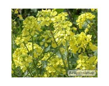 Насіння гірчиці на сидератні посіви оптом