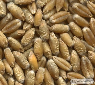 Продаємо насіння ярого тритикале - сорт СОЛНЦЕДАР ХАРКІВСЬКИЙ.