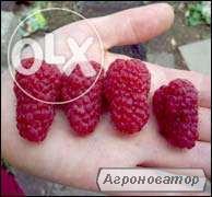 продам саджанці малини ремантантной