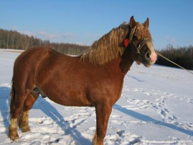 Лошади тяжеловозы породы Русский тяжеловоз