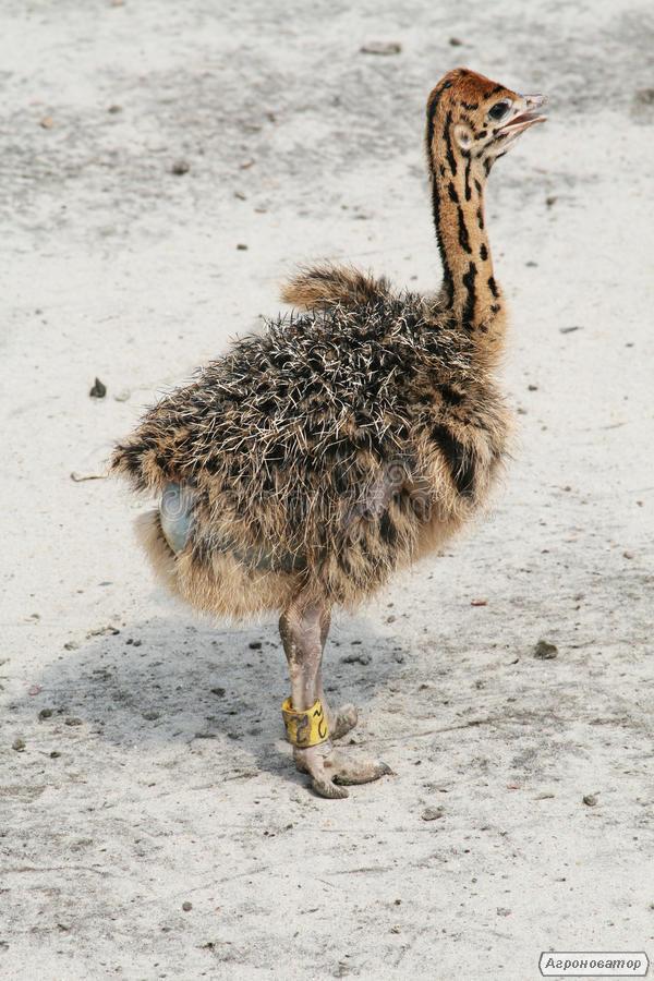 Продам молодняк страуса, чорного африканського страуса