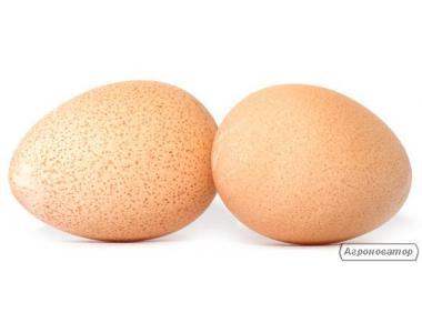 інкубаційне яйце цесарки