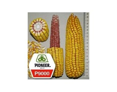 Семена кукурузы Pioneer П9000 / P9000 (новий) ФАО 310