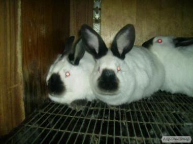 Продам кроликов калифорнийской и термонской пород