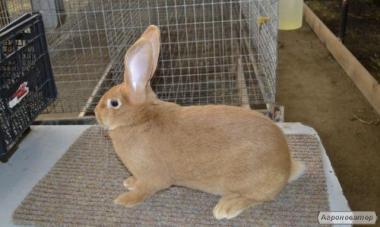 Продам породистих кроликів Бургундці