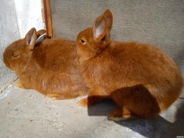 Продам породистих кролів на плем'я