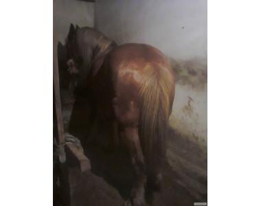 Продам коня 8 років      тел.0955987296