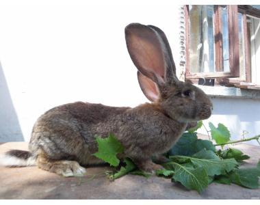 Продам кролів породи фландр
