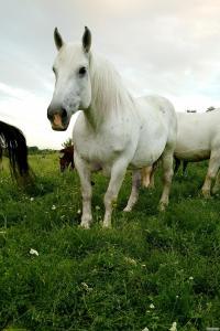 Продается лошадь (кобыла)