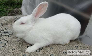 Продам кролики Термонської породи