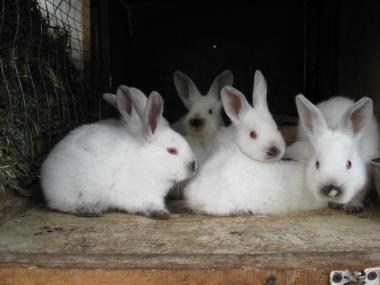 Кролики Калифорнийцы