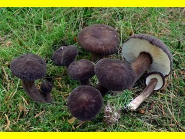 Міцелій Млечника деревинного / Млечник бурий (Lactarius lignyotus)