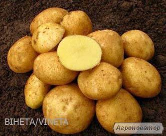 Продам велику картоплю сталовых сортів Беллароза, Вінета
