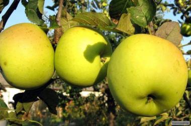 Саджанці яблуні сорту Місяць, від виробника
