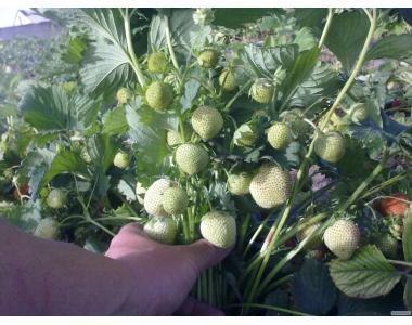 Продам качественную рассаду клубники альбион