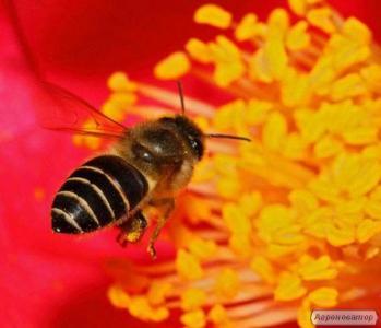 Продам пчелопакеты 3+1, 50-80 шт. 950 грн. в Черкасской обл.