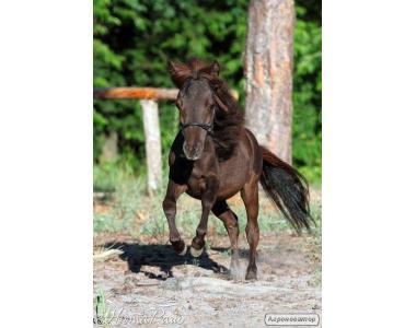 миниатюрная Американская лошадь с Документами