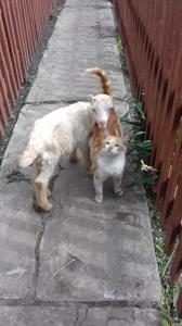 Козли і кози ЛАМАНЧ