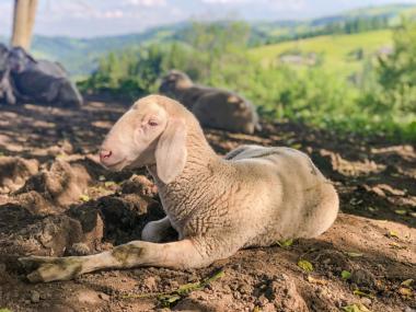Племінні вівці породи