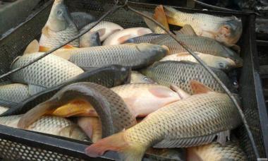 Продам Живу рибу від виробника.