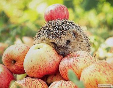 Яблука з власного саду (ОПТ)