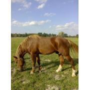 Продаю коня ваговоза
