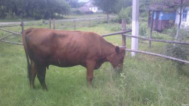 Продам корову 4 роки