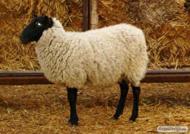 Вівці,Барани Романовська порода