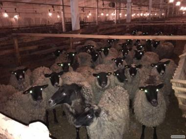 продам вівці selling sheep romanov