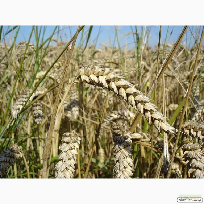 Насіння озимої пшениці - сорт Богдана. Еліта та 1 репродукція