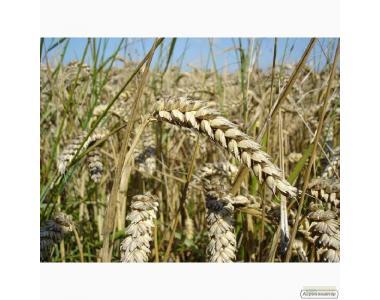 Семена пшеницы озимой - сорт Богдана. Элита и 1 репродукция