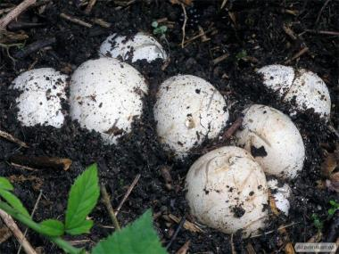 Гриб Веселка (яйца)  150 грн кг.