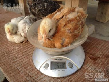 продам цыплят суточных и подрощеных