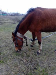 Продам лошадь 4 года
