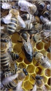 Предлагаю плодные пчеломатки Карпатки 2020г.