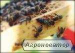 Бджоломатки карпатської породи на 2018 рік