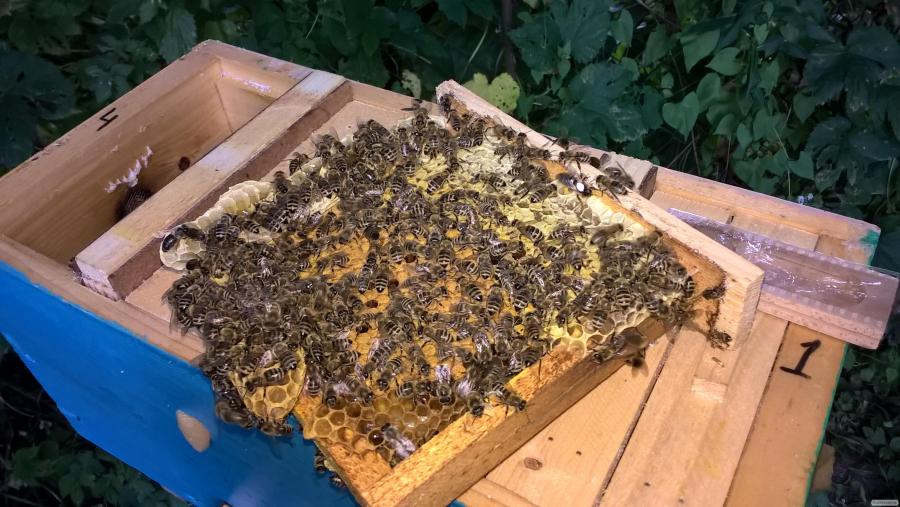 Плодные, меченые пчелиные матки