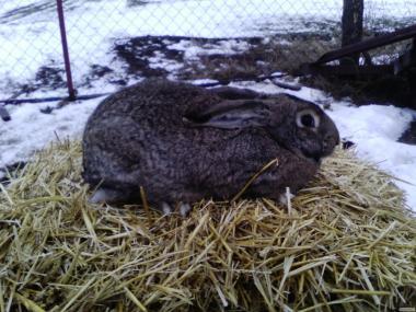 Кролики на племя, на мясо