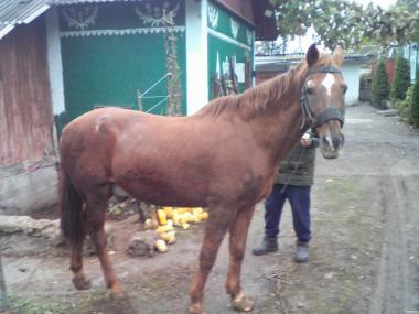Робочий кінь 14500грн