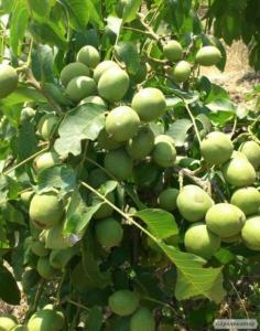 Саженцы грецкого ореха сорта «Буковинская бомба»