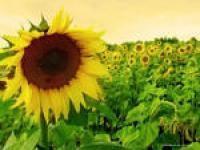 Гранстароустойчивый гибрид Аурис, семена подсолнечника